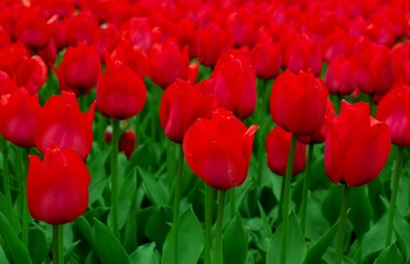 man red dutch tulips