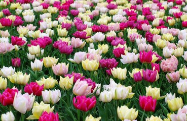 colorfull dutch tulips