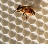 bee, comb poster