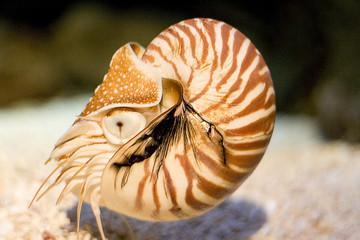 nautilus closeup
