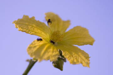bees and ants looking for nectar on yellow flower