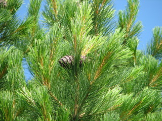 siberian pine with pair of cone on branches on sky background