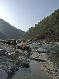 cows crossing river ganges in india poster