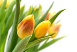 Fototapety yellow tulips
