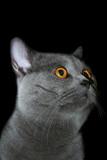 british cat poster