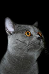 british cat © Petr Vaclavek