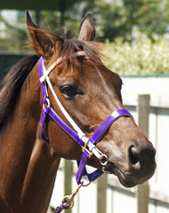 haltered horse