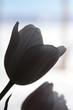 silhouette white tulip love