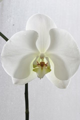 orchid pretty white flower