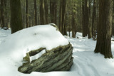 snow covered boulder in hemlock forest poster