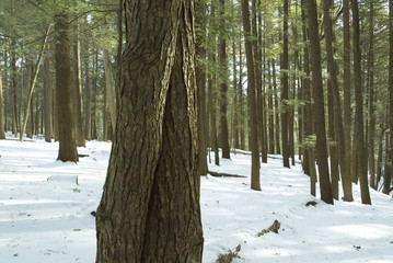 hemlock forest in snow