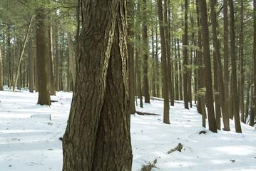 hemlock forest in snow