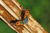 insect mating poster