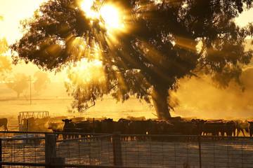 cattle sunrise