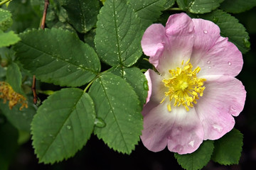 beautiful flower-dogrose with wet petals
