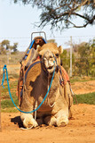 camel sitting with saddle poster