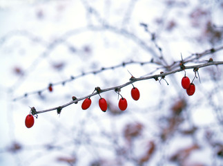 """winter: berries"": american barberry bush in snow"