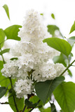 common lilac, white variant poster