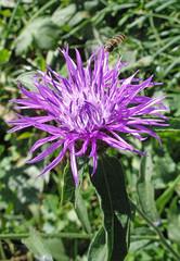 fleur de pissenlit mauve3