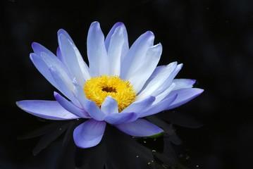 flower on still, dark water