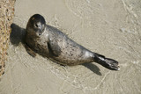 harbor seal pup 4 poster
