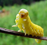 pseudo-caterpillar of sawfly poster