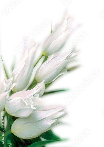 tulip-2