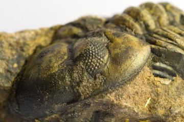 fossile di trilobite