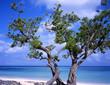 tree at guardalava beach cuba