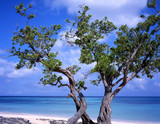 tree at guardalava beach cuba poster