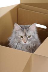silver cat in box. observer