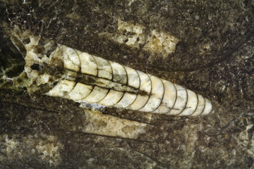 fossile di antico cefalopode