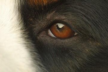 chien bouvier bernois oeil
