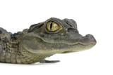 caïman à lunettes - caïman crocodilus