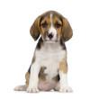 chiot beagles