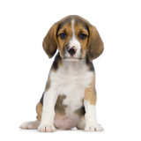 chiot beagles poster