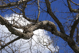 bare limbs against winter sky poster