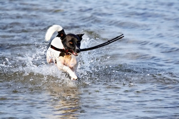 jack russell at the beach