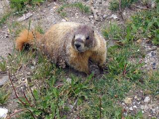 yellow-bellied marmot 4