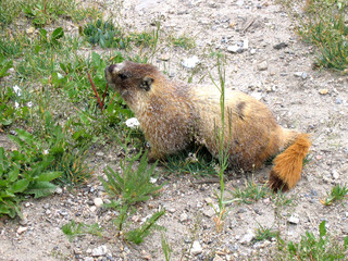 yellow-bellied marmot  2