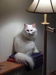 white angora cat glaring