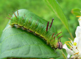 caterpillar of butterfly purple (apatura) poster