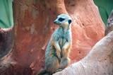 meerkat mob member poster