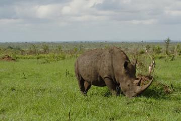white rhino landscape