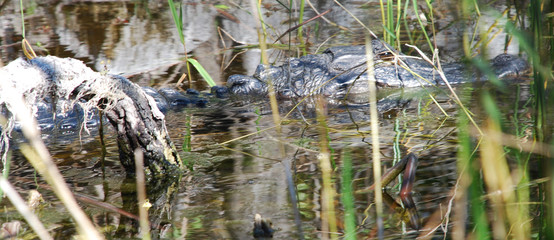 hiding alligator