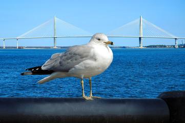suspension bridge-gull