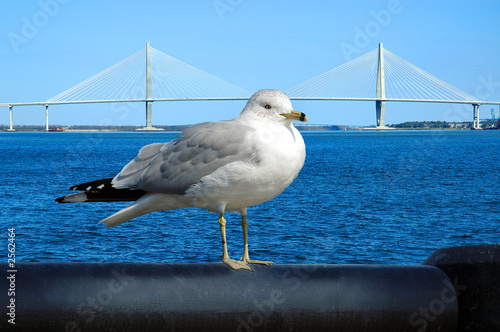 suspension bridge-gull