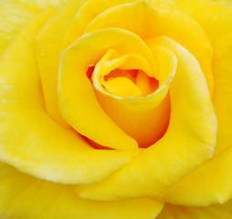 yellow rose beauty 2