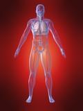 menschliche anatomie mit lungen poster