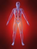menschliche anatomie mit nieren poster
